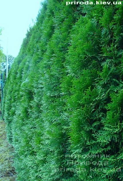 Фото Живой изгороди из Туи западной Смарагд Smaragd