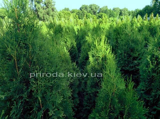 Туя западная колоновидная Колумна (Thuja occidentalis Columna)