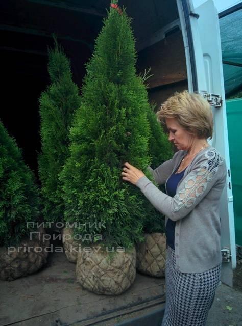 Туя западная Смарагд (Thuja occidentalis Smaragd) ФОТО Питомник растений Природа Priroda (21)