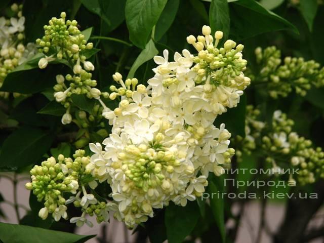 Сирень обыкновенная Праймроуз ( Syringa vulgaris Primrose) ФОТО Питомник растений Природа Priroda