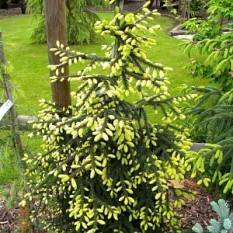 Ель восточная Ауреоспиката (Picea orientalis Aureospicata) ФОТО Питомник растений Природа/Priroda