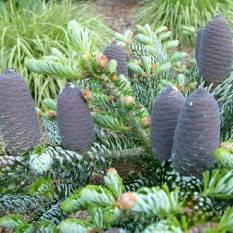 Пихта корейская Силберлок (Abies koreana Silberloche ) ФОТО Питомник растений Природа /Priroda