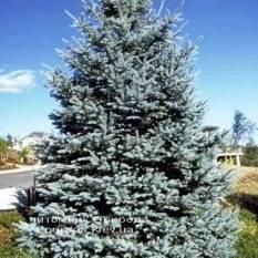 Ель колючая голубая Хото (Picea pungens Hoto) ФОТО Питомник растений Природа/Priroda