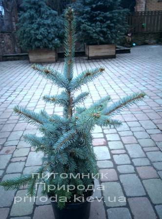 Ель колючая голубая Хото (Picea pungens Hoto) ФОТО Питомник растений Природа/Priroda (52)