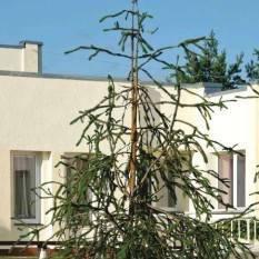 Ель обыкновенная Виргата (Picea abies Virgata) ФОТО Питомник растений Природа/Priroda