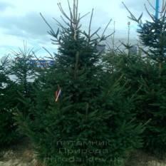 Ель обыкновенная/европейская (Pisea abies) ФОТО Питомник декоративных растений Природа
