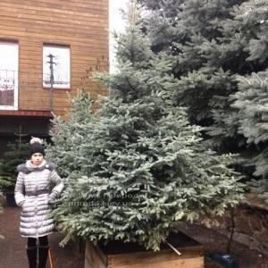 Ель колючая голубая Глаука (Picea pungens Glauca) ФОТО Питомник растений Природа/Priroda