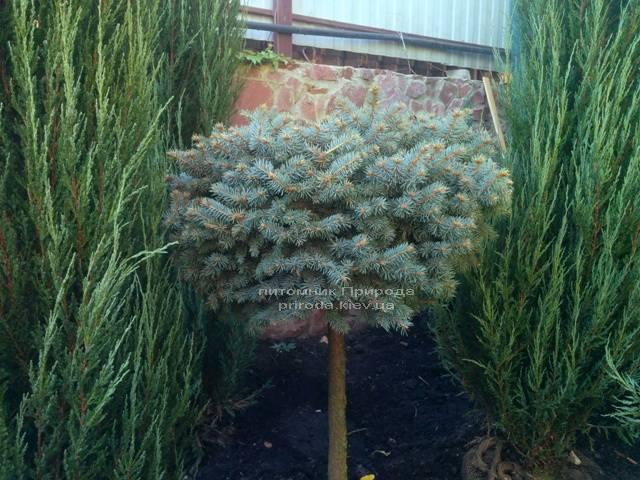 Ель колючая голубая Глаука Глобоза (Picea pungens Glauca Globosa) на штамбе ФОТО Питомник растений Природа/Priroda (44)