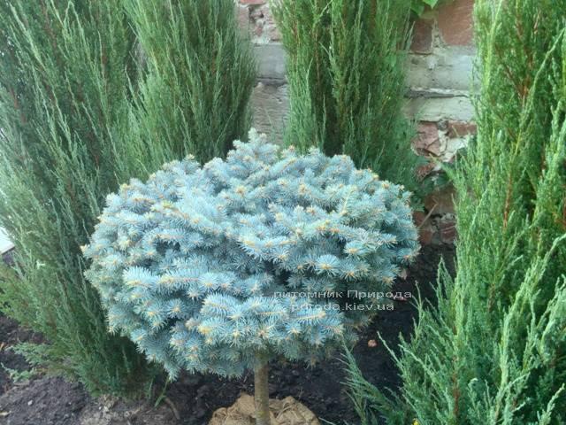 Ель колючая голубая Глаука Глобоза (Picea pungens Glauca Globosa) на штамбе ФОТО Питомник растений Природа/Priroda (47)