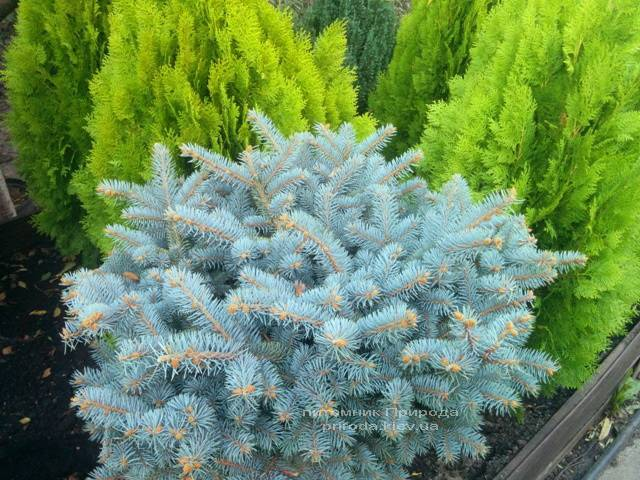 Ель колючая голубая Глаука Глобоза (Picea pungens Glauca Globosa) на штамбе ФОТО Питомник растений Природа/Priroda
