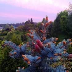Ель колючая голубая Хупси (Picea pungens Hoopsi) ФОТО Питомник растений Природа/Priroda