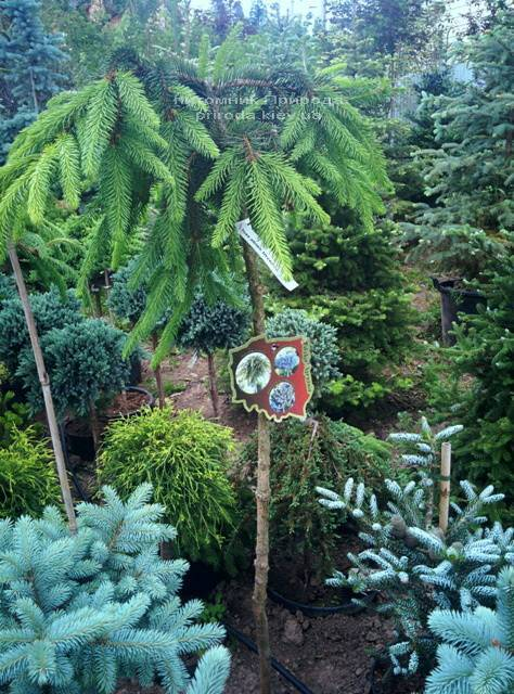Ель обыкновенная Инверса (Picea abies Inversa) на штамбе ФОТО Питомник декоративных растений Природа / Priroda