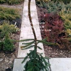 Ель обыкновенная Инверса (Picea abies Inversa) ФОТО Питомник декоративных растений Природа / Priroda