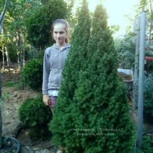 Ель канадская Коника (Picea glauca Conica) ФОТО Питомник декоративных растений Природа