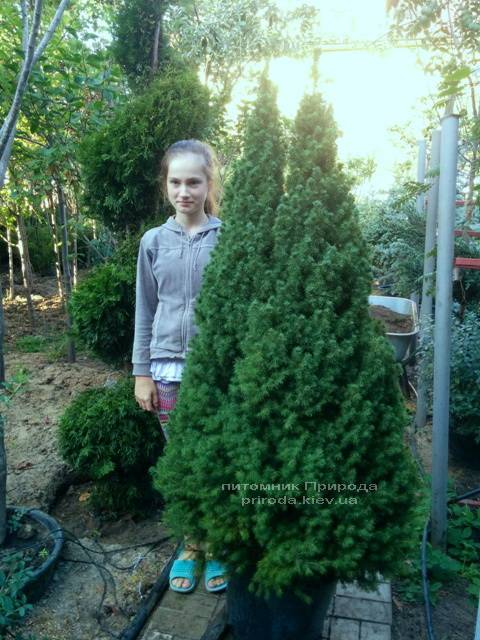 Ель канадская Коника (Picea glauca Conica) ФОТО Питомник декоративных растений Природа (102)