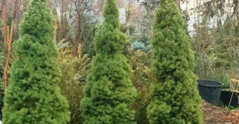 Ель канадская Коника (Picea glauca Conica) ФОТО Питомник декоративных растений Природа (103)