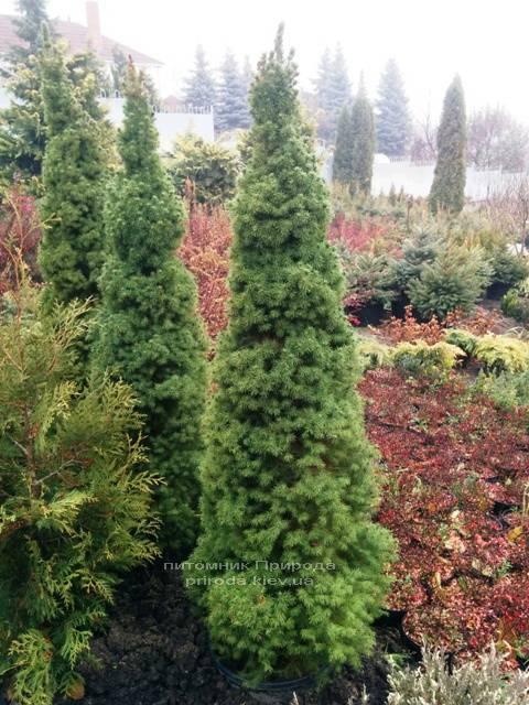 Ель канадская Коника (Picea glauca Conica) ФОТО Питомник декоративных растений Природа (104)