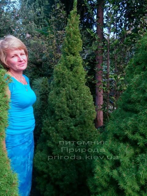 Ель канадская Коника (Picea glauca Conica) ФОТО Питомник декоративных растений Природа (106)