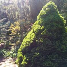 Ель канадская Коника (Picea glauca Conica) ФОТО Питомник растений Природа / Priroda