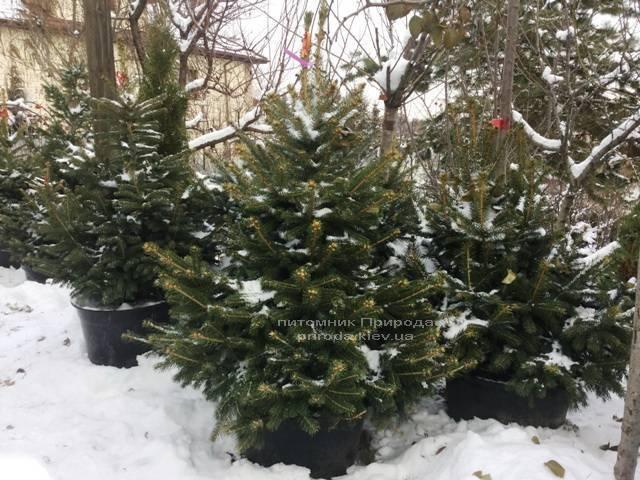 Ель колючая зелёная Глаука (Picea pungens Glauca) ФОТО Питомник растений Природа/Priroda (71)