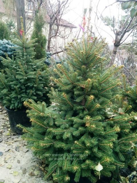 Ель колючая зелёная Глаука (Picea pungens Glauca) ФОТО Питомник растений Природа/Priroda (67)