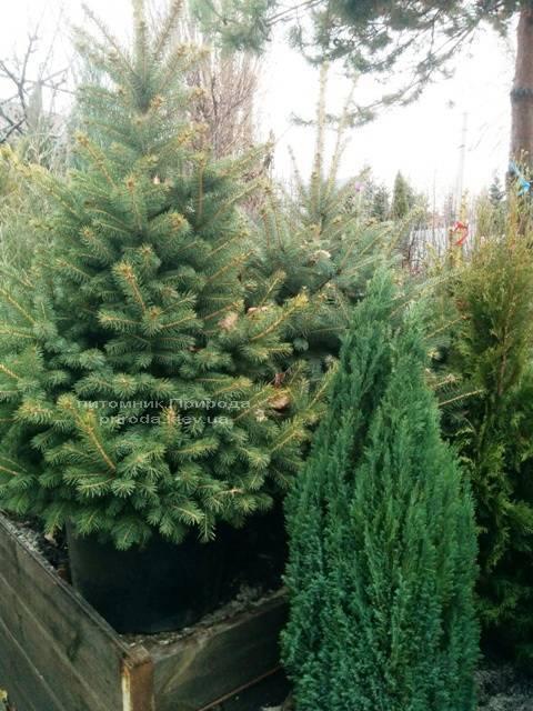 Ель колючая зелёная Глаука (Picea pungens Glauca) ФОТО Питомник растений Природа/Priroda