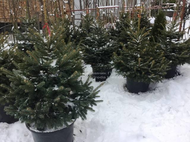 Ель колючая зелёная Глаука (Picea pungens Glauca) ФОТО Питомник растений Природа/Priroda (73)