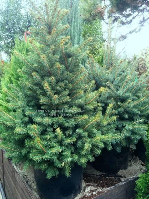 Ель колючая зелёная Глаука (Picea pungens Glauca) ФОТО Питомник растений Природа/Priroda (62)