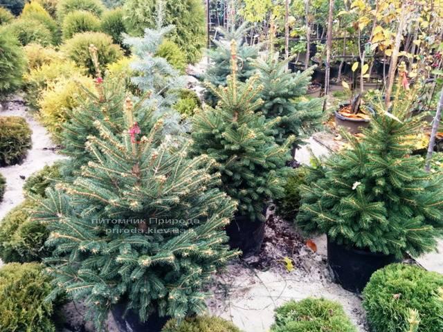 Ель колючая зелёная Глаука (Picea pungens Glauca) ФОТО Питомник растений Природа/Priroda (63)