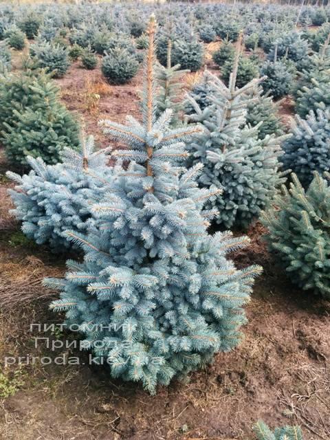 Ель колючая голубая Глаука (Picea pungens Glauca) ФОТО Питомник растений Природа/Priroda (3)