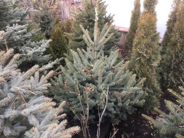 Ель колючая зелёная Глаука (Picea pungens Glauca) ФОТО Питомник растений Природа/Priroda (68)