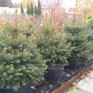 Ель колючая зелёная Глаука (Picea pungens Glauca) ФОТО Питомник растений Природа/Priroda (75)
