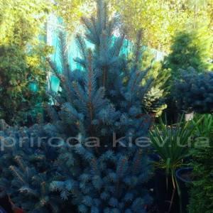 Ель колючая Исели Фастигиата (Picea pungens Iseli Fastigiata) ФОТО Питомник растений Природа/Priroda (48)
