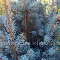 Ель колючая Исели Фастигиата (Picea pungens Iseli Fastigiata) ФОТО Питомник растений Природа/Priroda (50)