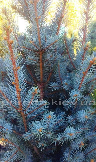 Ель колючая Исели Фастигиата (Picea pungens Iseli Fastigiata) ФОТО Питомник растений Природа/Priroda