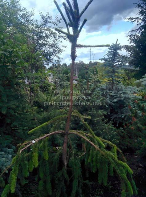 Ель обыкновенная Виргата (Picea abies Virgata) ФОТО Питомник растений Природа/Priroda (110)