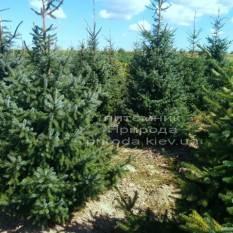Ель сербская (Picea omorica) ФОТО Питомник декоративных растений Природа