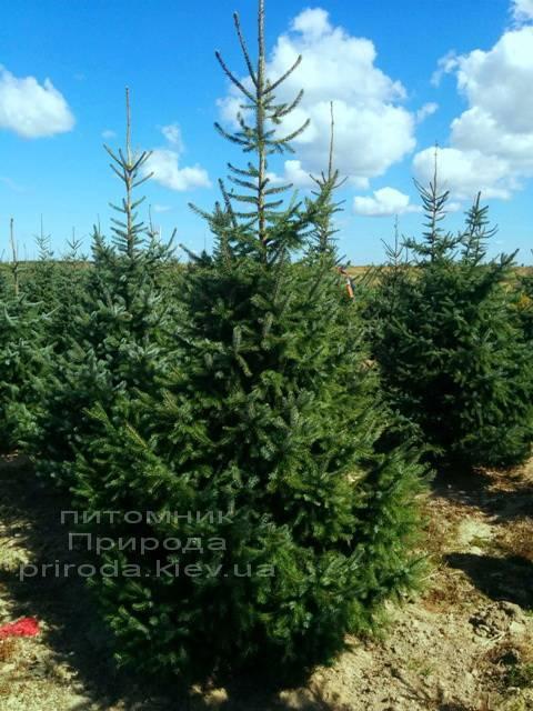 Ель сербская (Picea omorica) ФОТО Питомник декоративных растений Природа (100)