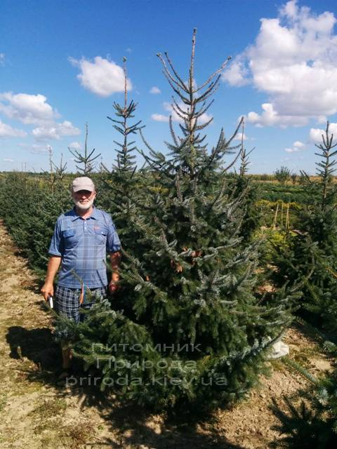 Ель сербская (Picea omorica) ФОТО Питомник декоративных растений Природа (101)