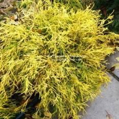 Кипарисовик горохоплодный Филифера Ауреа Нана (Chamaecyparis pisifera Filifera Aurea Nana) ФОТО Питомник растений Природа/Priroda