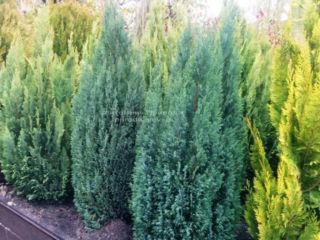 Кипарисовик Лавсона Элвуди (Chamaecyparis Lawsoniana Ellwoodii) ФОТО Питомник растений Природа/Priroda (12)