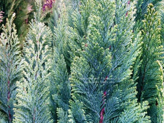 Кипарисовик Лавсона Элвуди (Chamaecyparis Lawsoniana Ellwoodii) ФОТО Питомник растений Природа/Priroda (10)
