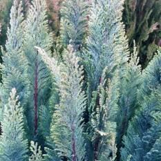 Кипарисовик Лавсона Элвуди (Chamaecyparis Lawsoniana Ellwoodii) ФОТО Питомник растений Природа/Priroda