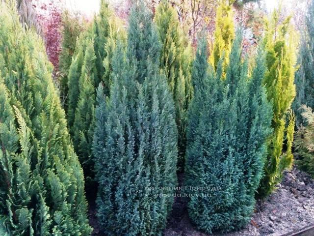 Кипарисовик Лавсона Элвуди (Chamaecyparis Lawsoniana Ellwoodii) ФОТО Питомник растений Природа/Priroda (9)
