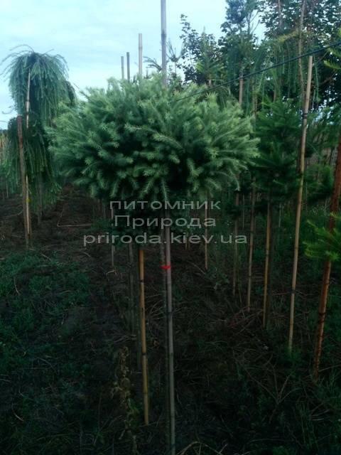 Лиственница европейская Корник (Larix deciduas Kornik) на штамбе ФОТО Питомник растений Природа (Priroda) (1)