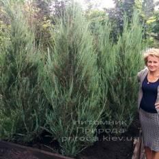 Можжевельник скальный Скайрокет (luniperus scopulorum Skyrocket) ФОТО Питомник растений Природа / Priroda