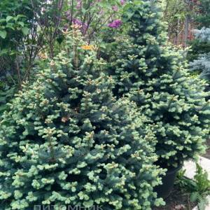 Пихта горная Компакта (Abies lasiocarpa Compacta ) ФОТО Питомник растений Природа /Priroda (15)