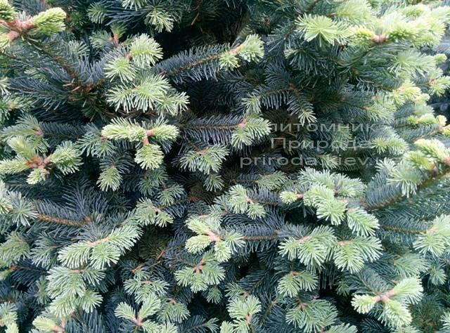 Пихта горная Компакта (Abies lasiocarpa Compacta ) ФОТО Питомник растений Природа /Priroda