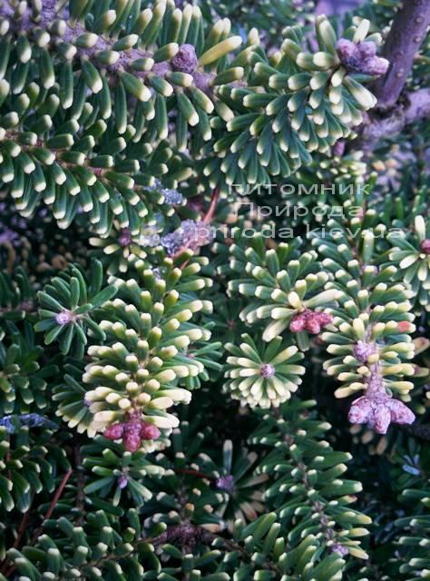Пихта корейская Ауреа (Abies koreana Aurea ) ФОТО Питомник растений Природа /Priroda