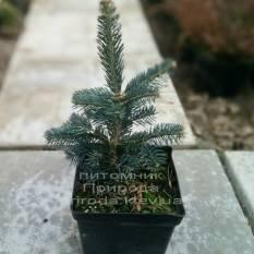 Пихта одноцветная Аргенти (Abies concolor Argentea ) ФОТО Питомник растений Природа /Priroda